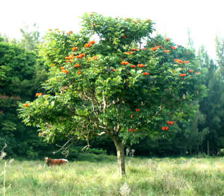 African tulip trees are a delightful part of the view