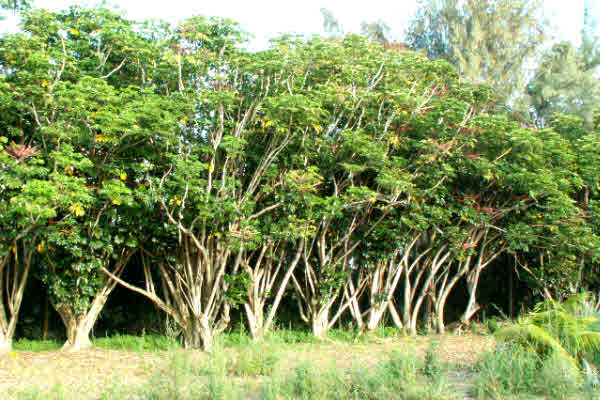 Well established trees provide protection when tradewinds come